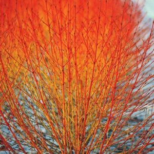 Cornus sanguinea midwinter fire stems of orange