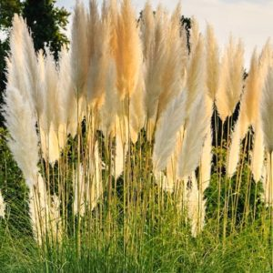 Sun shining through the fluffy white plumes of Dwarf pampas grass.