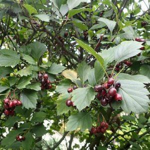 Reddish Black hawthorn fruit against grey green leaves.