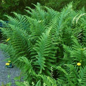 Dryopteris filix mas barnesii fern with upright