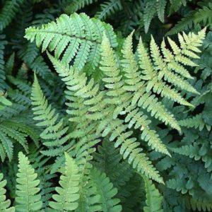 Leaves of the Dryopteris marginalis