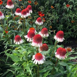Strawberry and cream echinacea flowers with strawberry like cone