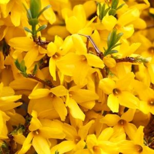 Brilliant yellow blooms of gold tide forsythia.