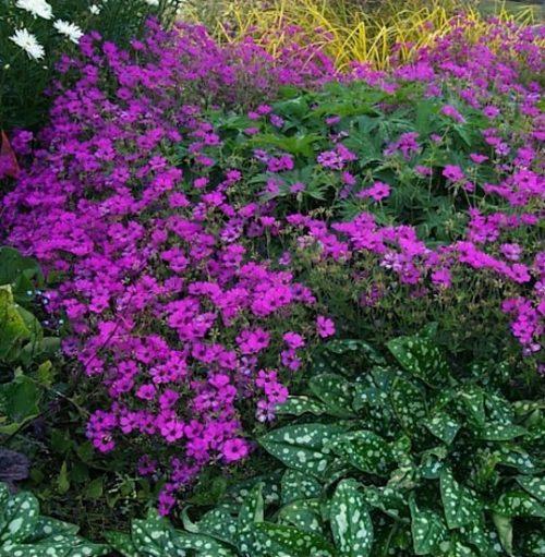 A swath of magenta Geranium Anne Thompson in the garden.