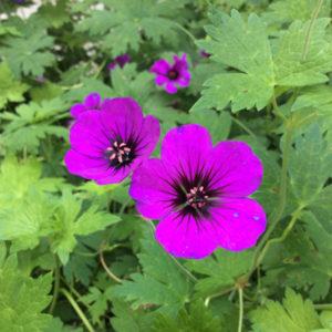 Magenta flowers of Geranium Anne Thompson.