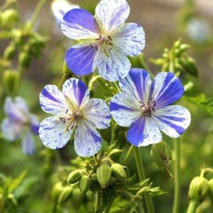Geranium Delft Blue blooms