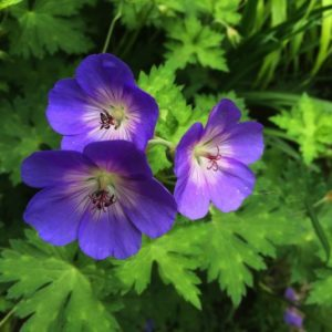 Violet cup-shaped flowers of Geranium Rozanne.