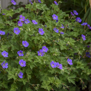 Geranium Rozanne perennial in full bloom.
