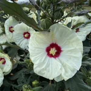 Yellow Rose Mallow blooms with creamy yellow