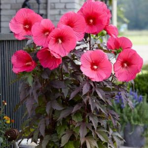 hibiscus moscheutos pink passion deep pink hardy hibiscus flower 300x300 - Hibiscus moscheutos 'Tahi16' CAROUSEL™ Pink Passion