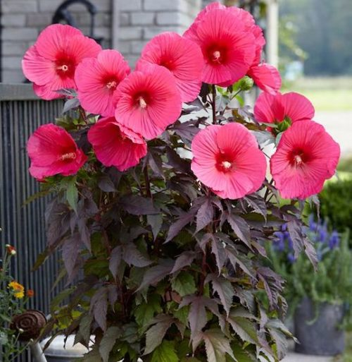 hibiscus moscheutos pink passion deep pink hardy hibiscus flower 500x513 - Hibiscus moscheutos 'Tahi16' CAROUSEL™ Pink Passion