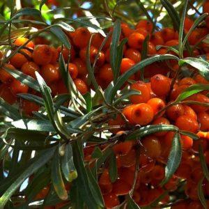 Tight bundles of Hippophae rhamnoides chuyskaya fruit.