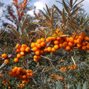 Gracefully arching Hippophae rhamnoides Inya branch covered in orange fruit clusters.