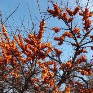 Hippophae rhamnoides Leikora birght orange berries on leafless