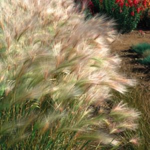 Plumes of silvery white and green Foxtail Barley waving in the wind.