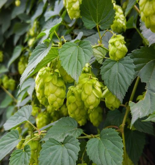Chinook Hops vine with bright green pinecone-shaped flowers