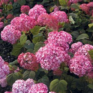 bright Pink Beauty Hydrangea mophead flower.