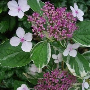 Variegated Lacecap Hydrangea flower of pink surrounded by white and green varieagated foliage.