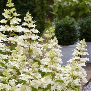 Airy creamy white panicles of Dwarf Panicle Hydrangea.