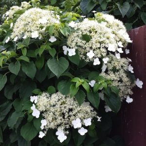 Climbing Hydrangea with green heart-shaped leaves