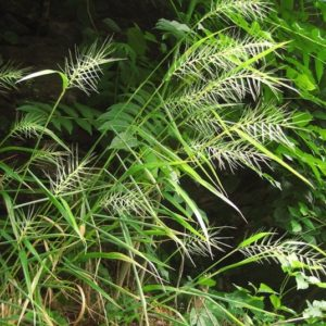 Bottlebrush Grass spiky seedheads rustling in the wind.