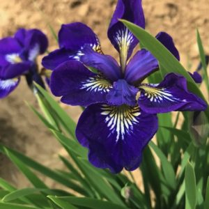 I See Stars Siberian Iris with pruple petals and yellow signals.