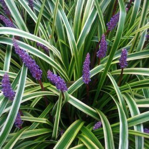 Variegated Lily Turf perennial with white and green varieagated leaves and small deep lavender flowers.