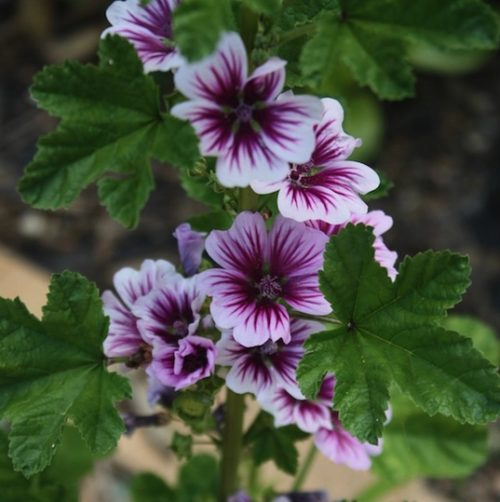 Pink and raspberry-purple flowers of the Zebra Mallow.