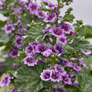 Stalks of carmine and lavender Zebra Mallow flowers