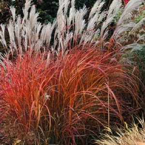 Fiery orange to red blades and silver-white plumes of miscanthus sinensis fire dragon.
