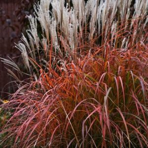 miscanthus sinensis fire dragon grass habit 300x300 - Miscanthus sinensis 'Fire Dragon'