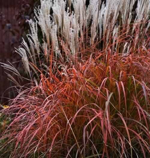miscanthus sinensis fire dragon grass habit 500x528 - Miscanthus sinensis 'Fire Dragon'