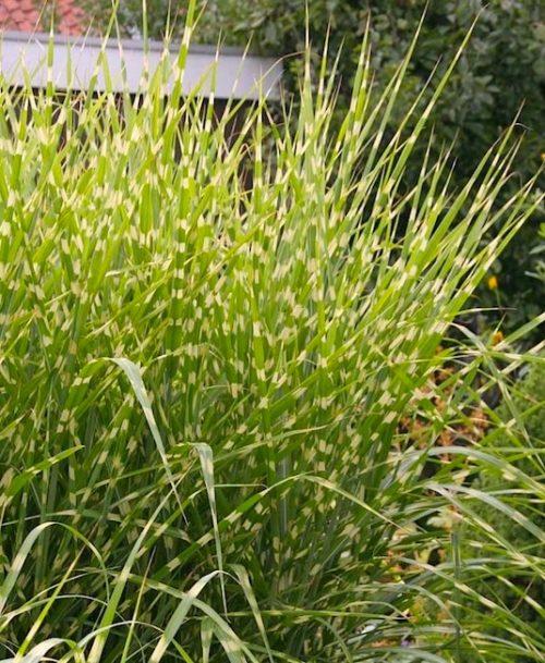 Bluish green and yellow horizontally striped Porcupine Grass blades.