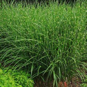 Swath of Miscanthus sinesis Strictus ornamental grass