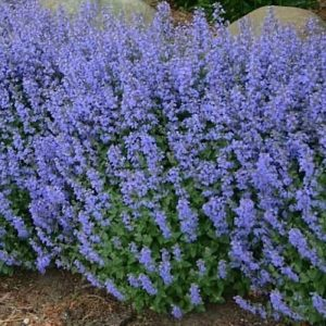 Swath of tall Purrsian Blue Catmint with deep lavender blooms.