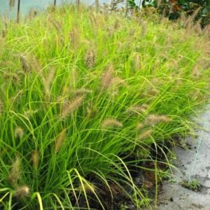 Pennisetum Alopecuroides Hameln Gold grasses planted in a row.