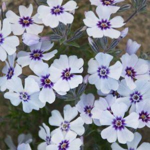 White creeping phlox blooms.