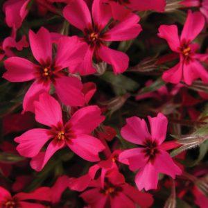 Reddish Pink Creeping Phlox blooms.