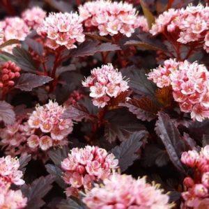 Deep pink flowers and deep red green leaves of Physocarpus opulifolius Little Joker.