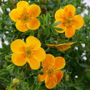 Closeup of mango coloured Potentilla fruticosa Mango Tango blooms.