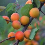 Manchurian Apricot fruit on the tree.