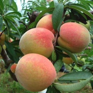 Peach tree branches in fruit.