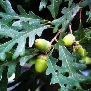 Branch of the White Oak tree with leaves and acorns.