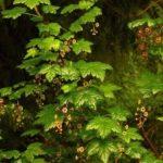 Ribes lacustre shrub