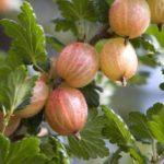 Ribes uva-crispa 'Sebastien' currants along branch.