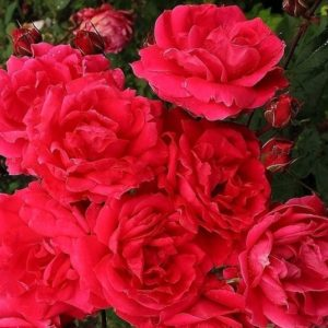 A mass of double pink-tinged red roses.