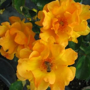 Three bright yellow and peach tinged Bill Reid rose blooms