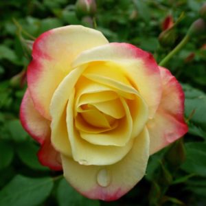 Yellow Campfire rose bloom with red tinged petals