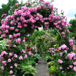 Climbing rose with pink blooms  growing over arched trellis.