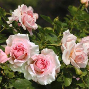 Soft pink Rosa Lambert Closse double blooms.